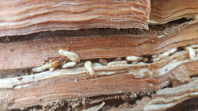 termites found in building inspection